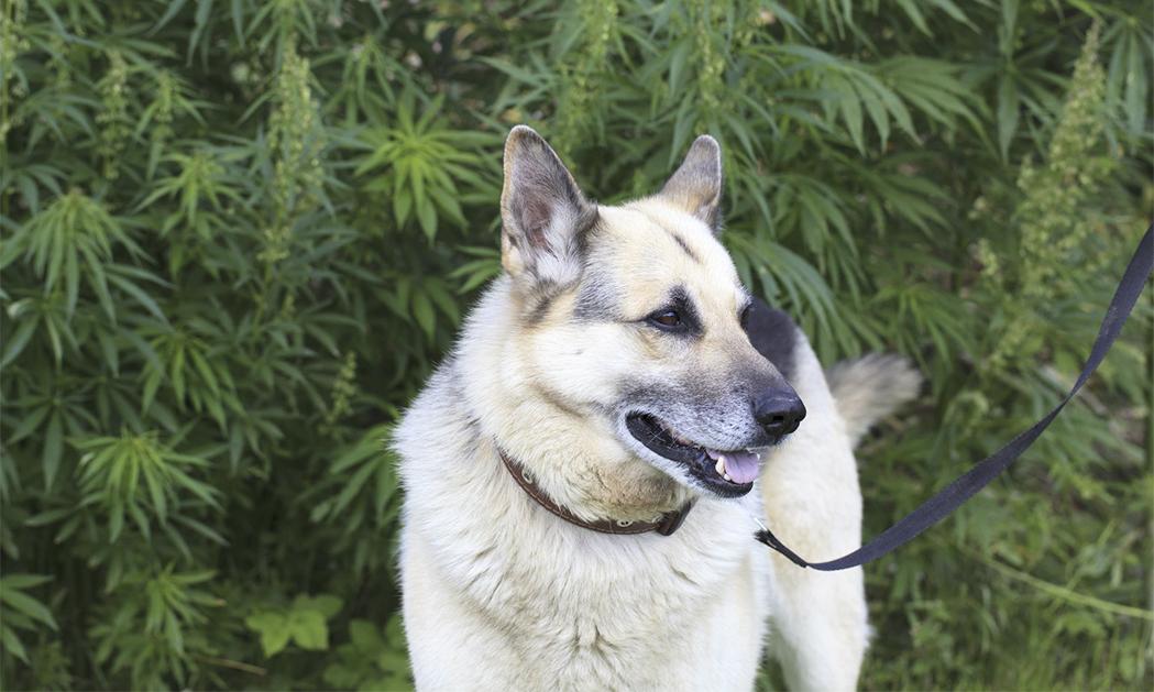 hemp-field-and-dog.jpg