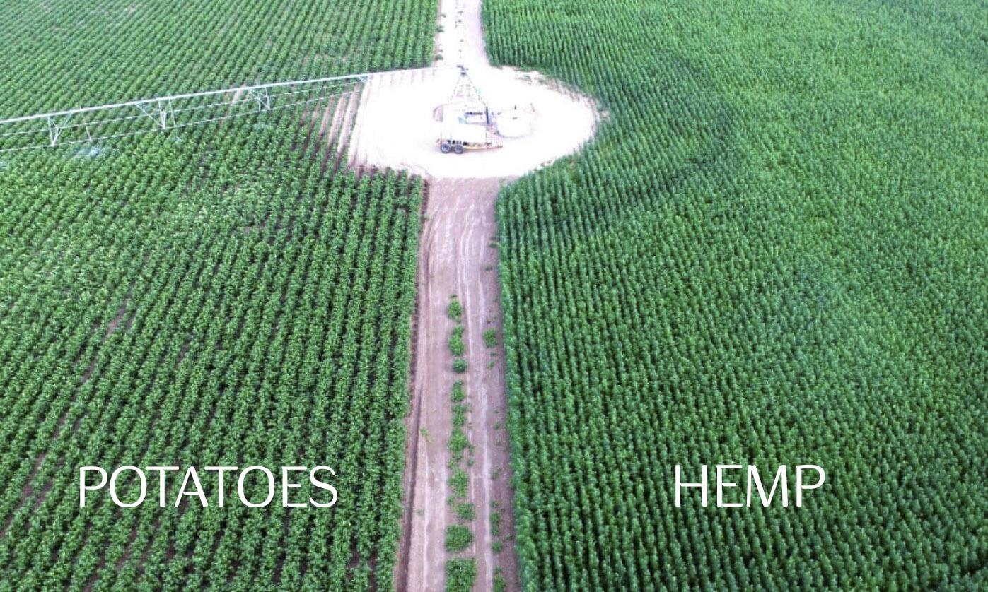 potatoes-vs-hemp.jpg